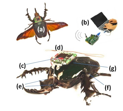 Ученые представили живого радиоуправляемого жука