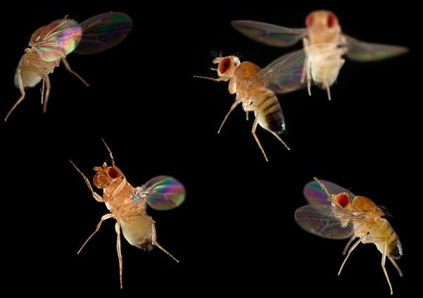 http://www.3dnews.ru/_imgdata/img/2010/12/15/603688/insect-flight-fruit-flies-copyright-linden-gledhill.jpg