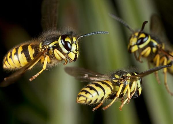 http://www.3dnews.ru/_imgdata/img/2010/12/15/603688/insect-flight-wasps-copyright-linden-gledhill_0.jpg