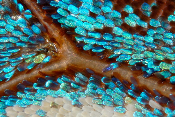http://www.3dnews.ru/_imgdata/img/2010/12/15/603688/micro-butterfly-wing-scales-copyright-linden-gledhill.jpg