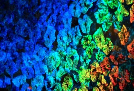 Кожа кальмара поможет в изготовлении меняющих цвет гаджетов